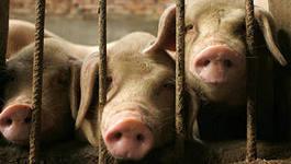 На татарских свинофермах – новогодние штрафы