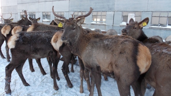 Северный олень Жириновский пасется в Татарстане